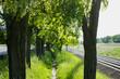 blooming acacia. alley.