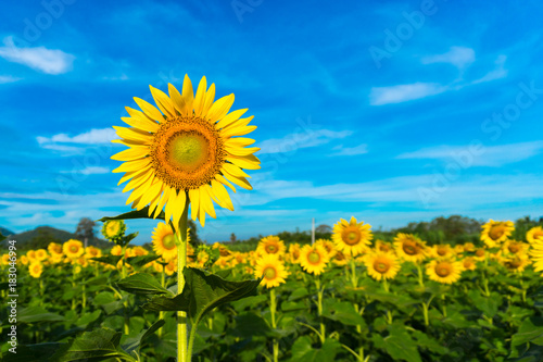 Sunflowers of the beautiful season. Sky background