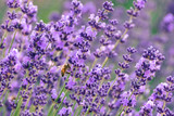 lavender field with bee on one lavender - 183050353