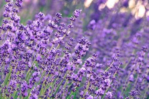 Fotobehang Lavendel lavender field