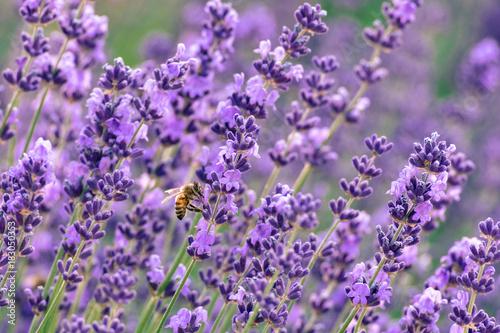 Papiers peints Lavande lavender field with bee on one lavender