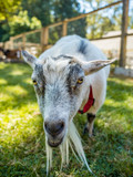 a beard white goat looking at you very close - 183052348