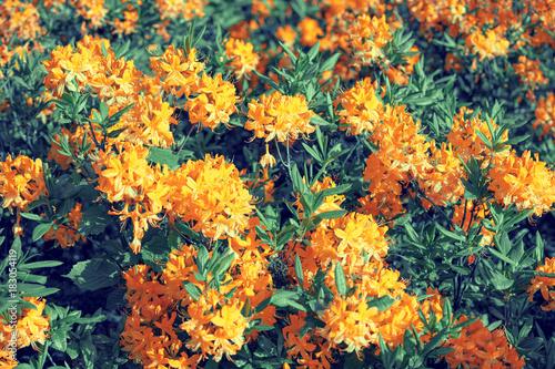 Plexiglas Azalea Rhododendron flowers in the garden, natural flower background