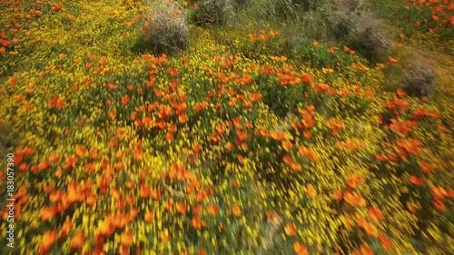 Poppy Flowers Aerial Shot of Super Bloom in Antelope Valley California USA