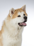 Akita puppy dog portrait. Image taken in a studio with white background. - 183068904