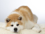 Akita puppy dog portrait. Image taken in a studio with white background. - 183068951