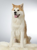 Akita puppy dog portrait. Image taken in a studio with white background. - 183068960