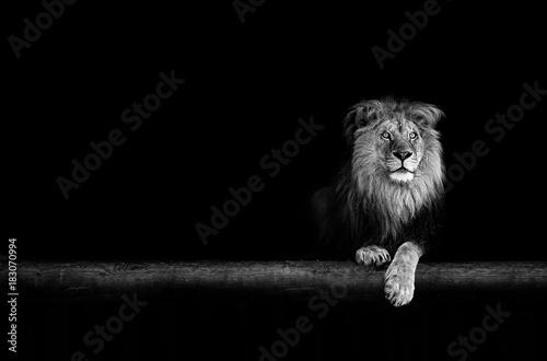Lion Portrait in the dark Poster