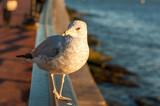 Seagull looking at camera at sunset, New York City, USA - 183072305