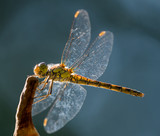 Dragonfly - 183076153