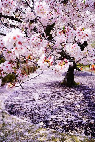 Papiers peints Kyoto 京都二条城の桜