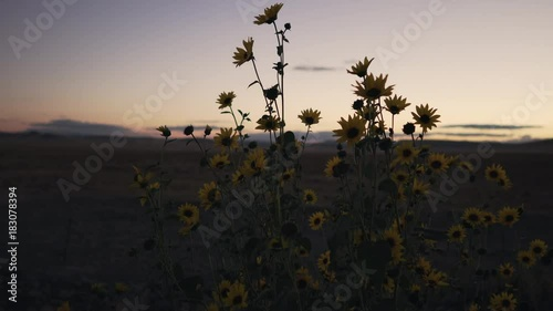 Gimbal shot of Prairie Sunflowers after sunset