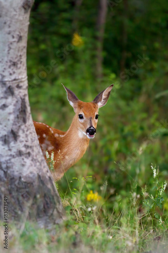 Fotobehang Hert White-tailed deer fawn peeking from behind a tree