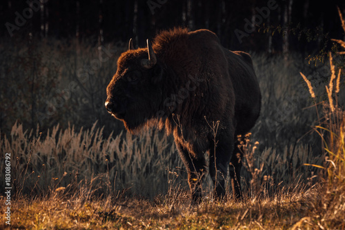 Plexiglas Bison Bison in the grass