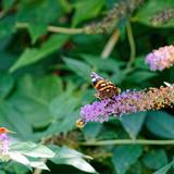 Papillon butinant sur une fleur . - 183087318