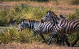 Zebra in Tanzania's Grasslands - 183090356