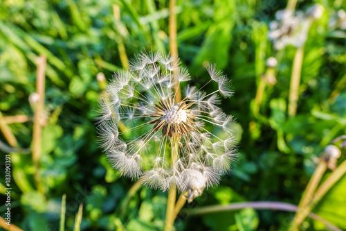 Plexiglas Paardebloemen dandelion
