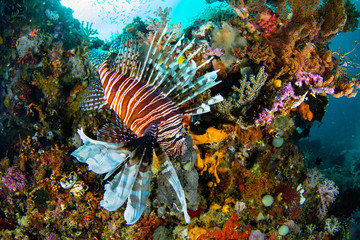 Lionfish in Raja Ampat