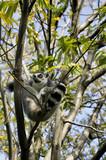 Lemure arrampicato - 183090734