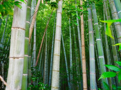 Plexiglas Bamboe Bambus Hintergrund Wald grün