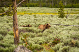 Grizzly bear in Yellowstone National Park - 183099728