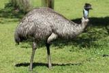 Closeup of wild emu on south coast of Australia - 183099900