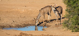 Impala Antelope Quenching Thirst at a Water Hole - 183106548