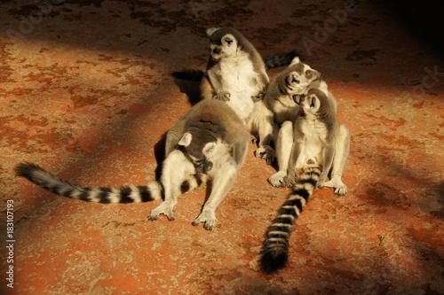 Fotobehang Aap Lemur