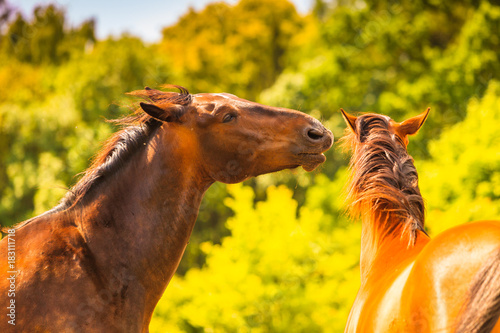 Aluminium Paarden Two brown wild horses on meadow field