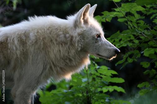 Plexiglas Wolf Hudson Bay Wolf
