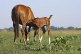 foal sucks milk - 183118768