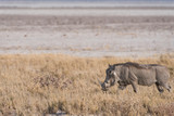 Warthog walking along Etosha pan