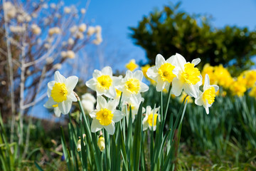 Yellow daffodils on garden in early spring