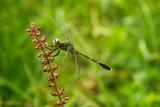 Army Dragonfly - 183144900