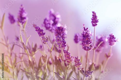 Papiers peints Lavande lavender flowers in gently purple tones. Floral natural background.