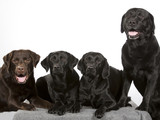 Group of labradors in a studio shot. Four labrador dogs. Image taken with a white background. - 183154566
