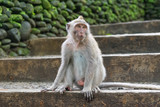 monkey  looking sideways in national park in monkey forest in bali. ubud. indonesia - 183154952