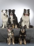 Group of dogs in a studio. Australian shepherd dogs. Image taken in a studio with white background. - 183155508