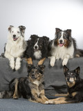 Group of dogs in a studio. Australian shepherd dogs. Image taken in a studio with white background. - 183155522
