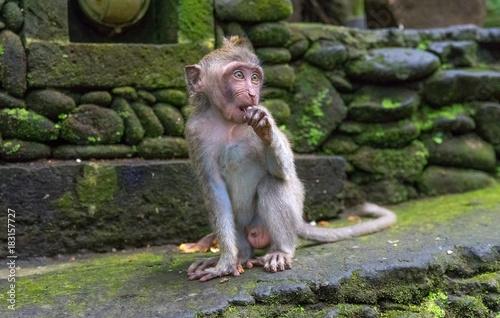 Fotobehang Aap baby monkey looking in national park in monkey forest in bali. ubud. indonesia