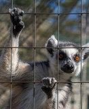 Ring-tailed monkey or Lemur Catta