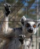 Ring-tailed monkey or Lemur Catta