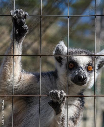 Fototapeta Ring-tailed monkey or Lemur Catta