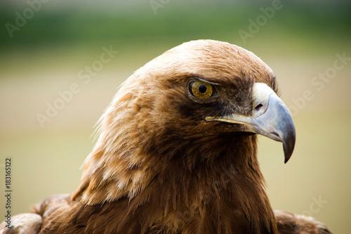 Plexiglas Eagle Golden Eagles head