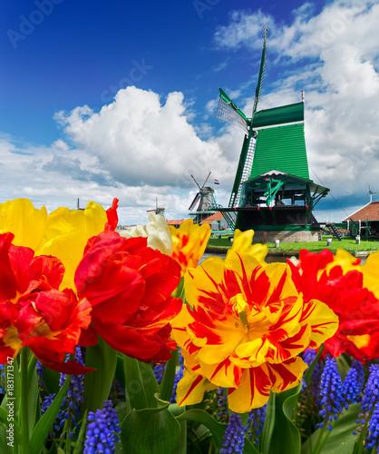 tradycyjne-drewniane-holenderskie-wiatraki-zaanse-schans-i-kwitnace-tulipany-holandia