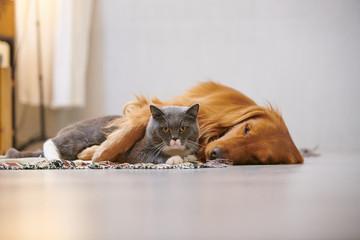 Golden retriever and British short cat © chendongshan
