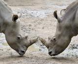 two rhinos - 183175513