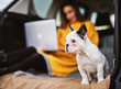 Close up of lovely cute little dog looking far away in front of a girl sitting in the back of a car and holding a laptop.