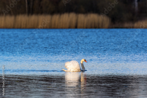 Fotobehang Zwaan Mute swan on the lake in the evening light in spring