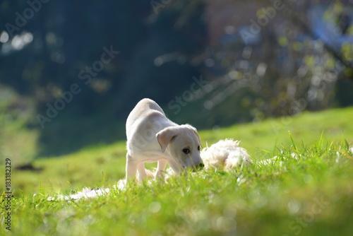 Poster Welpenabenteuer, süßer kleiner Hundewelpe erkundet den Garten im  Sonneschein